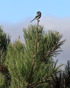 Torrey Pine Forest