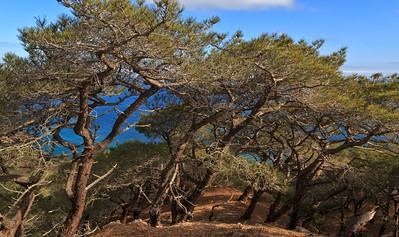 Torrey Pine Forrest