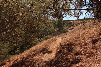 Trail leading through the Torrey Pines.  The Torrey Pines on Santa Rosa Island grow at an elevation of 200 - 500 feet.  They are the only native Torrey Pines on the Channel Islands.