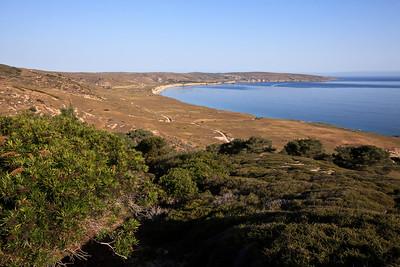 A stand of Santa Cruz Island Ironwood (Lyonothamnus floribundus subsp. aspleniifolius) adjacent to the Torrey Pines.