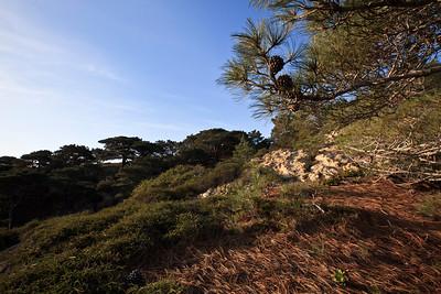 Island Torrey Pine ( Pinus torreyana subsp insularis)