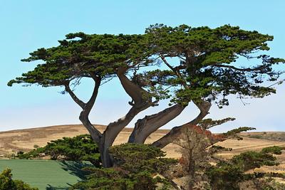 Cypress tree at Main Ranch