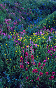 Wildflower meadow in Bighorn Mountains