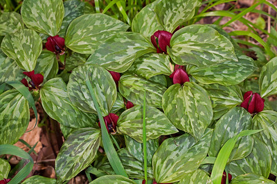 Prairie trillium is the common trillium found throughout Illinois