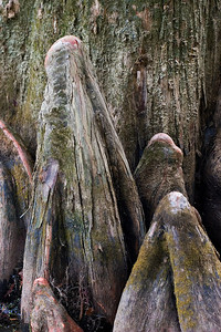 Bald cypress knees, growing to help stabilize the tree  in moist soil, can be nearly as old as the tree.