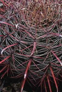 Fishhook cactus