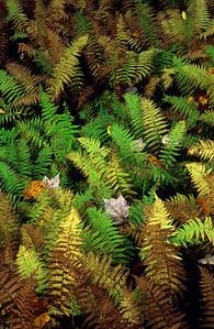 boreal ferns