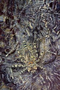 Macromiid dragonfly larva
