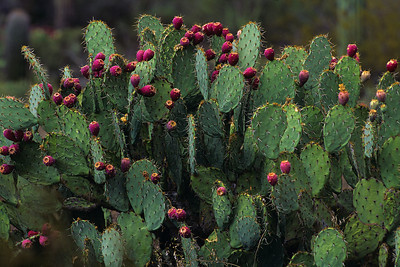 Opuntia thicket