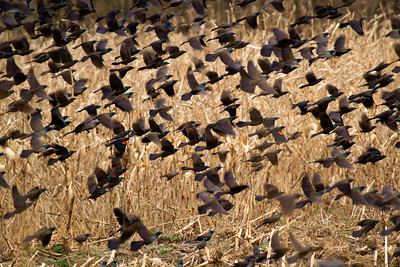 Redwing blackbird fall flock