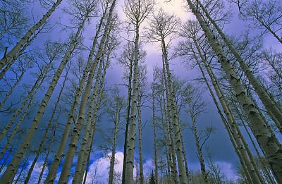 Aspen forest, Utah