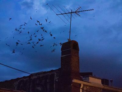 Chimney swifts entering chimney