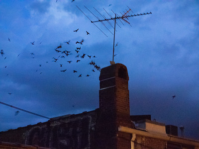 Chimney Swifts of Chapel Hill