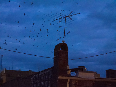 Chimney swifts staging to go into that chimney