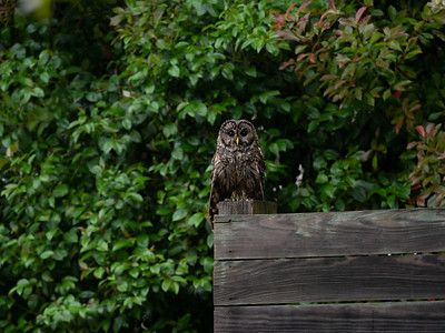 Rainy day, wet owl