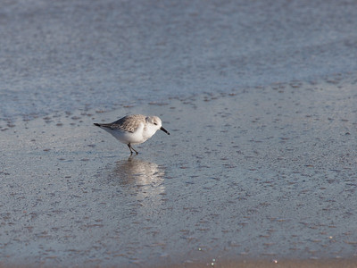 Snowy plover (?)  That will be my assumption about all such birds to follow.