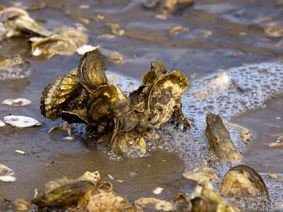 Oysters, Cedar Point Tideland Trail, Croatan National Forest Copyright 2011 Neil Stahl