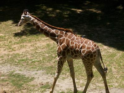North Carolina Zoological Garden Young Giraffe