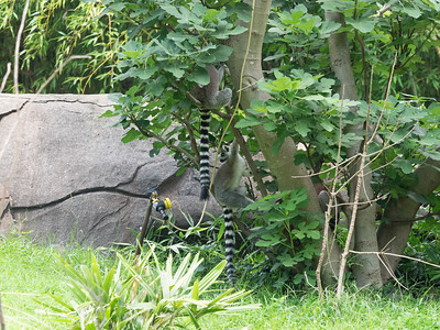 North Carolina Zoo; It's sort of hard for a ring-tailed lemur to hide