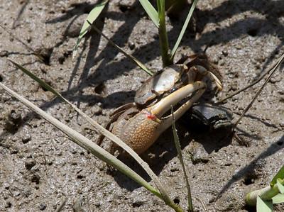 Crab Copyright 2011 Neil Stahl