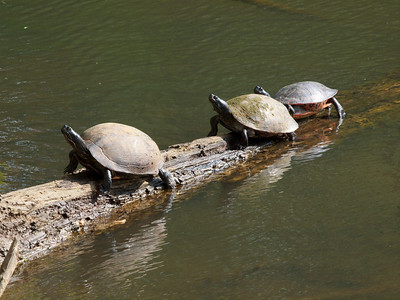 Turtles on the log by our cabin. Copyright 2011 Neil Stahl