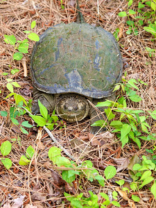 Snapping turtle we found by the road.  Copyright 2012 Neil Stahl