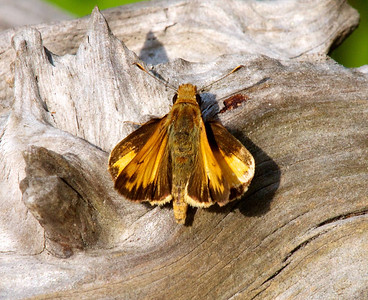Moth on a dead log  Copyright 2012 Neil Stahl