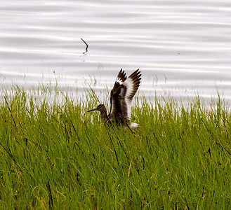 A willet in the reeds near our cabin; we were disappointed in the numbers of larger birds.  Copyright 2012 Neil Stahl