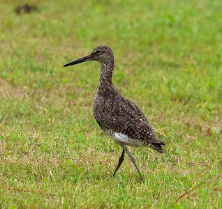 Willet elsewhere in the park  Copyright 2012 Neil Stahl