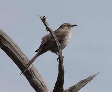 The Noble Mockingbird  Copyright 2012 Neil Stahl