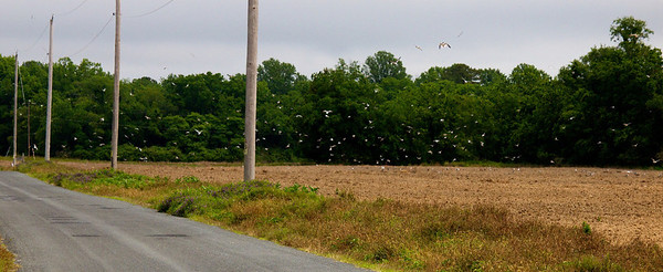 Laughing gulls going nuts over a newly-plowed field.  Copyright 2012 Neil Stahl