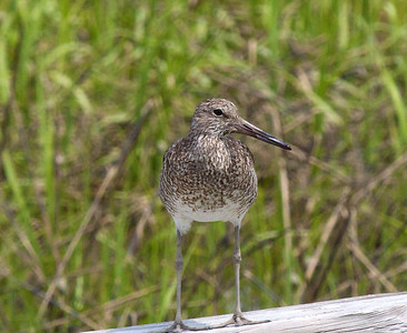 Willet by the dock  Copyright 2012 Neil Stahl