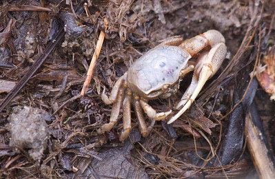 If nothing else shows up, shoot crabs.  Closeup of a small crab.  Copyright 2012 Neil Stahl