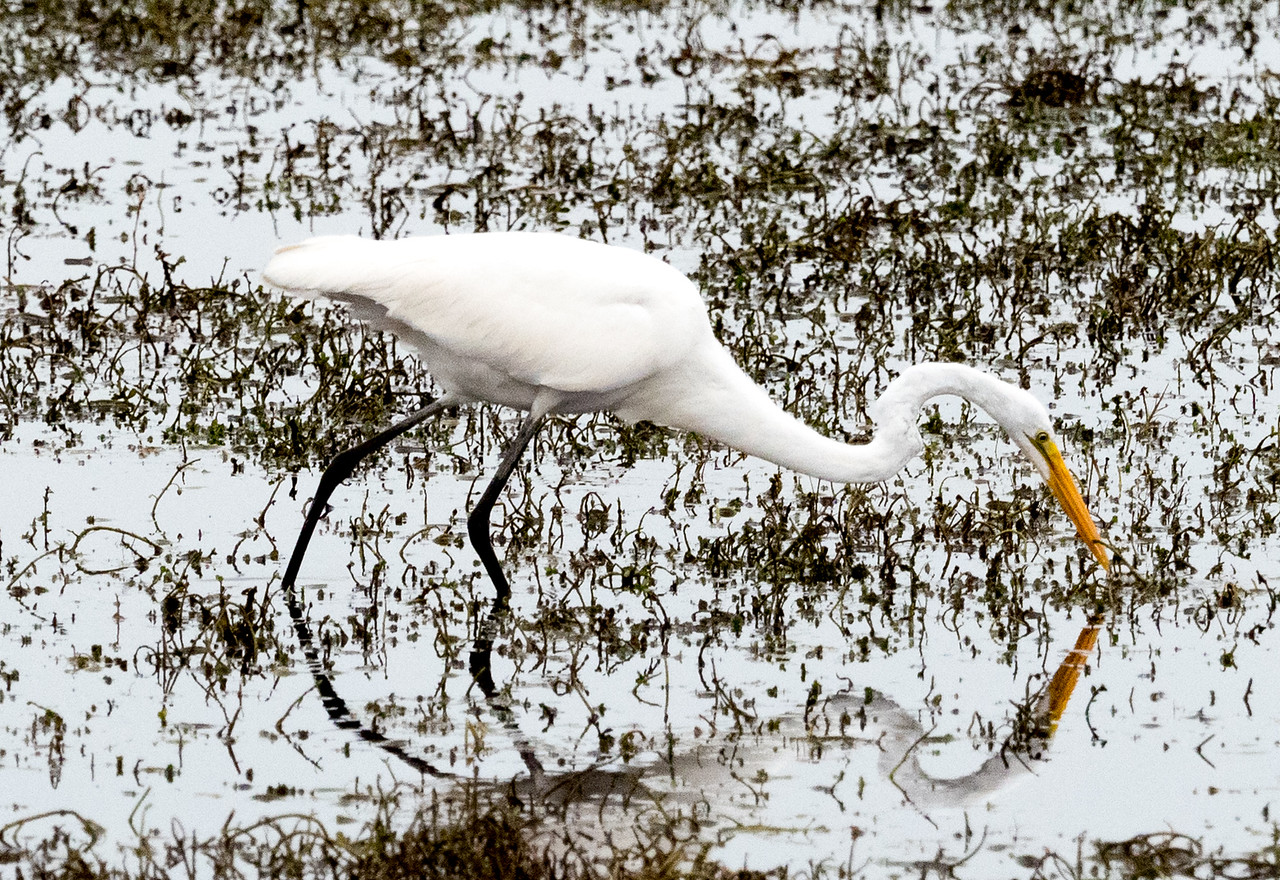 Oh, and I saw a great egret, too.  What it did was walk around and eat.