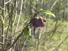 Pawpaw blossom