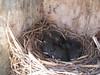 6 bluebird nestlings ~ 7 days old