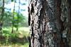 Forestry field trip - loblolly pines - BRFAL Chapter Class of 2011 Field trip