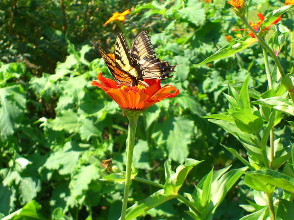 #1) Tiger swallowtails/Papilio glaucus (photo category: fauna). Photo by Bev Hovencamp.