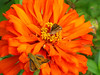 #6) Orange zinnia with skippers (photo category: fauna). Photo by Bev Hovencamp.