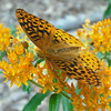 "#4: Fauna. ""Butterfly's Home."" Great Spangled Frittilary (Speyeria cybele) on Butterfly Weed (Asclepias tuberosa). Photo by Deborah Kushner."