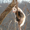 "Chapter winner! #3: Fauna. ""3 Million Years and Still Going Strong."" Opossum, Didelphis marsupialis. Photo by Susan McSwain."