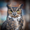 Native Owl
