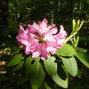 Rhododendron in Sunlight