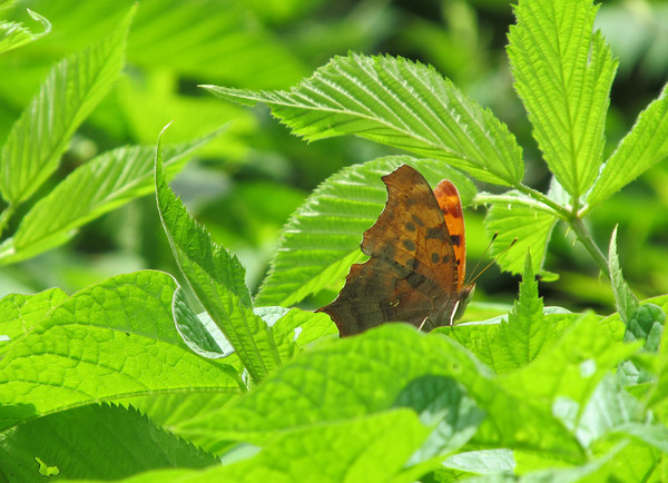 Question Mark butterfly by Bobi Thornhill, submitted to the 2012 statewide photo contest.