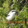 loggerhead shrike, cumberland county, rarequest find