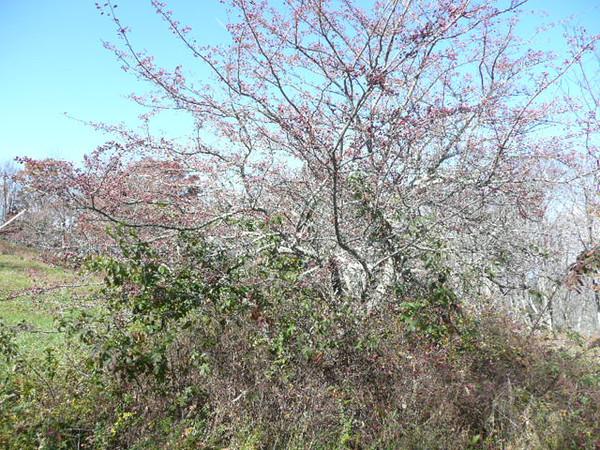Hawthorn-Crataegus sp.