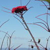 American Mountain Ash - Sorbus americana