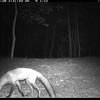 Red fox, B. Hukee
