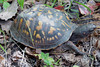 HRCVMN TRAINING:  Box Turtle discovered at York River State Park during our Wetlands Ecology Field Trip.