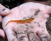 HRCVMN TRAINING: Red Eft discovered at York River State Park by Leader Hugh Beard during Wetlands Ecology Field Trip